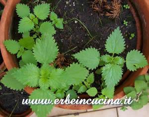 erbe in cucina - ricetta: frittatina di ortiche e cannella - Ortiche In Cucina