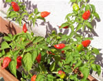 Peperoncino Inca Red Drop