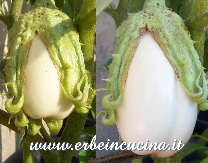 Erbe in cucina - La prima melanzana bianca