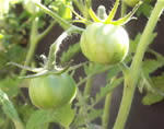 Green Zebra Stripe Tomatoes