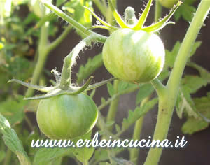 Green Zebra Stripe Tomato