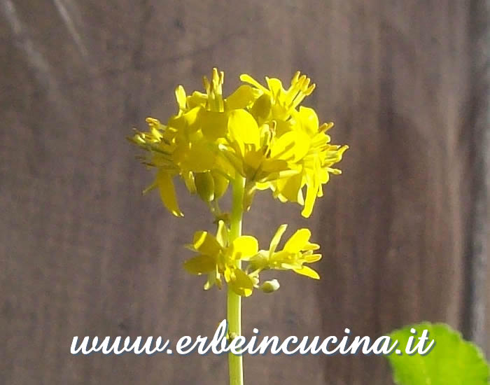 Broccoli rabe flower