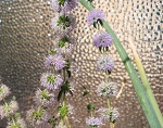 Pennyroyal flowers