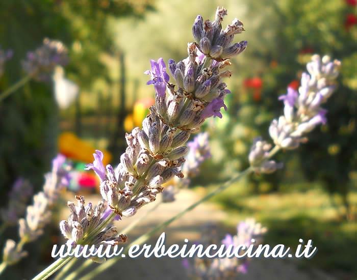 Erbe in cucina - Aromatiche e ornamentali: la lavanda