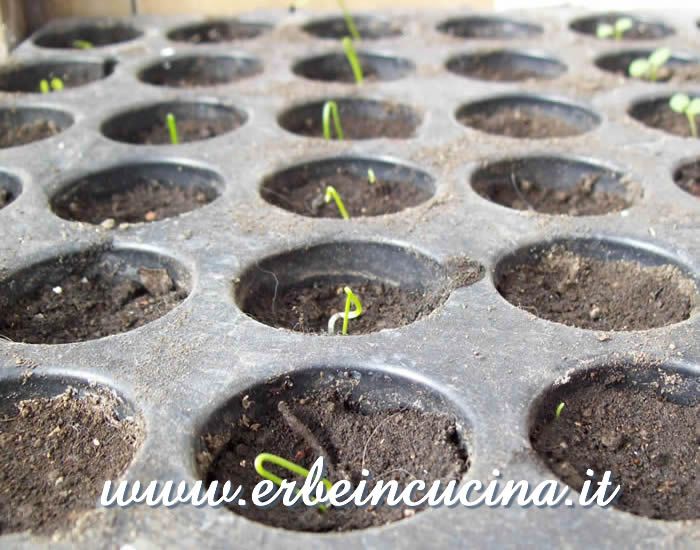 Piantine neonate di cipolletta rossa / Welsh onion newborn plants