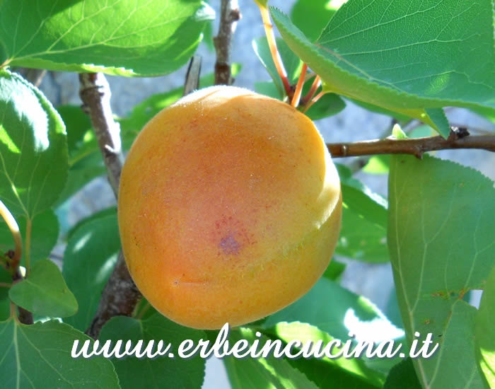 Ripe apricot, ready to be harvested
