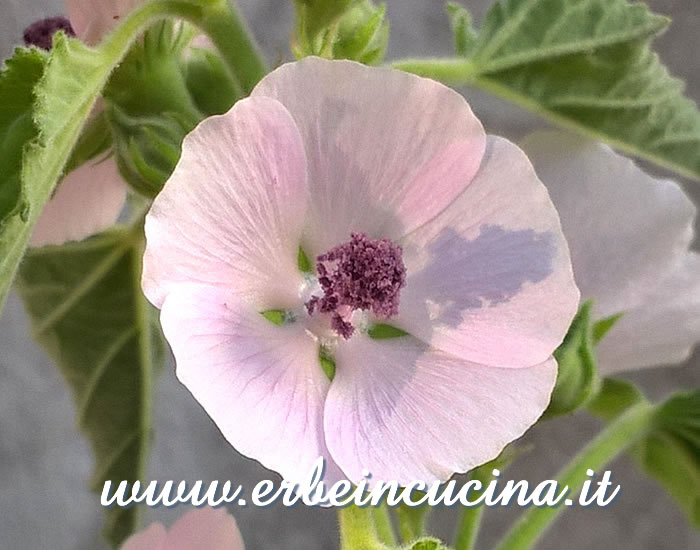 Fiore di altea / Marsh mallow flower