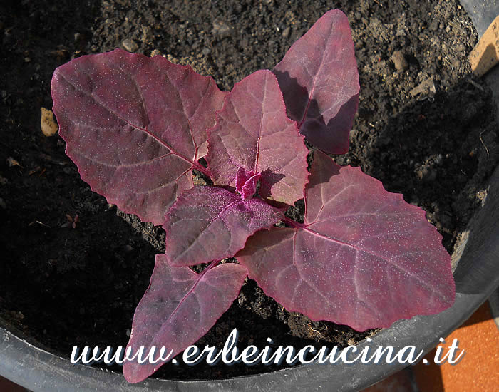 Giovane pianta di atreplice / Orach young plant