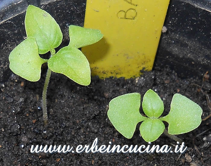 Piantine di basilico limone / Lemon basil young plants