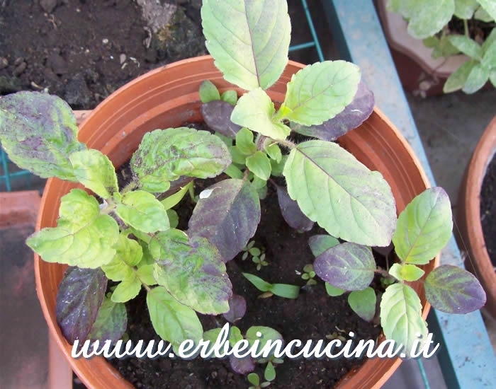 Giovani piante di basilico sacro rosso / Red Holy Basil, young plants