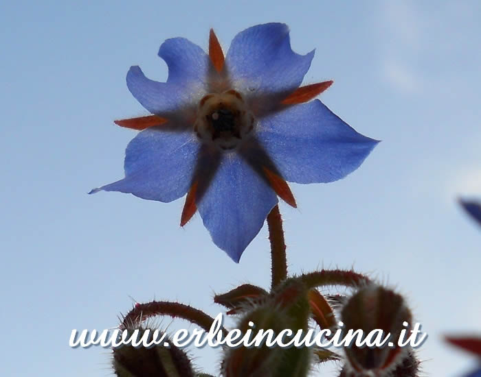 Fiore di borragine / Borage flower