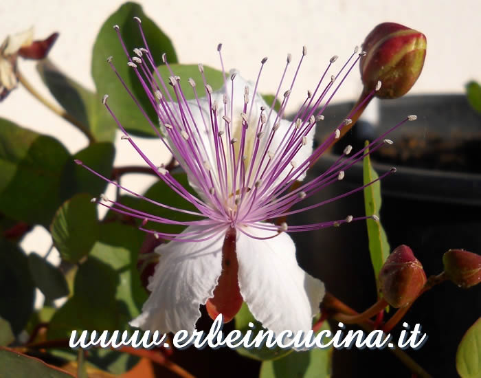 Fiore e boccioli di cappero / Caper flower and buds