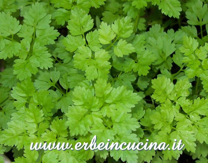 Chervil, ready to be harvested
