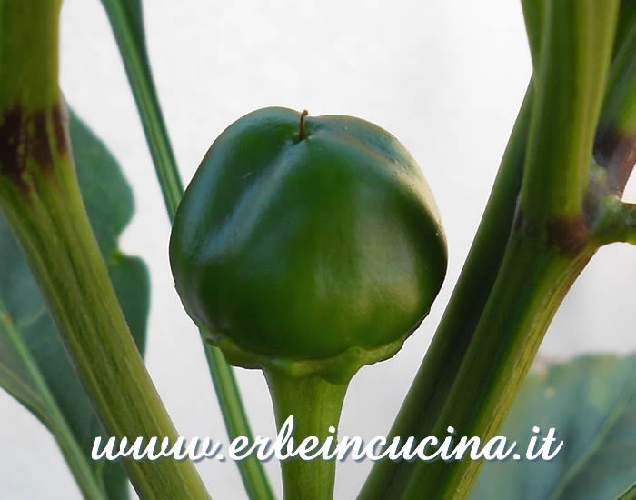 Peperone Cheese non ancora maturo / Unripe Cheese bell pepper