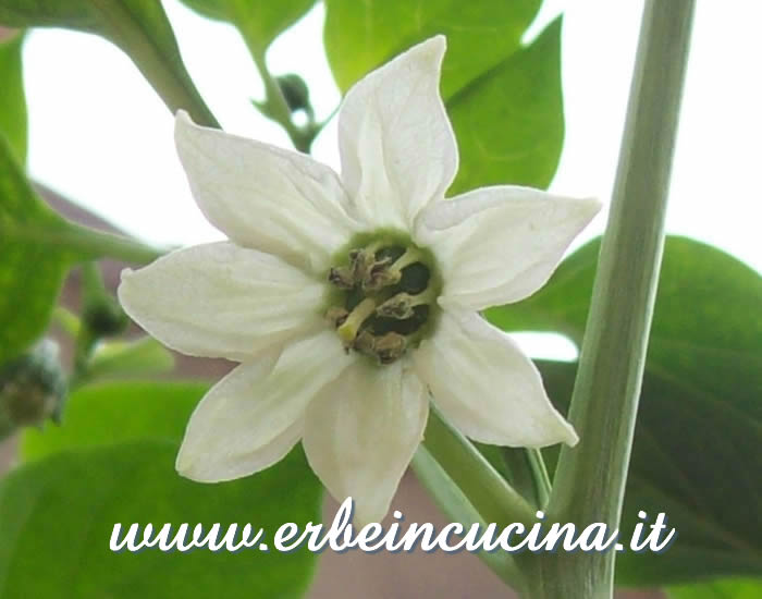 Fiore di peperoncino Chilhuacle Negro / Chilhuacle Negro chili flower