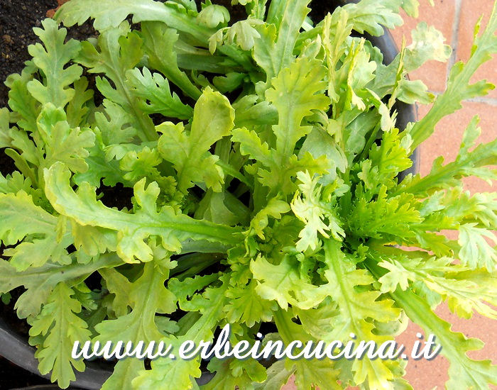 Chop-suey pronto da raccogliere / Chop-suey greens, ready to be harvested