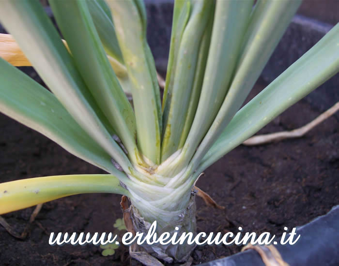 Cipolla bianca, pronta da raccogliere / White onion, ready to be harvested
