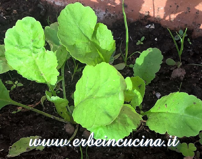 Crescione persiano pronto da raccogliere / Persian cress, ready to be harvested