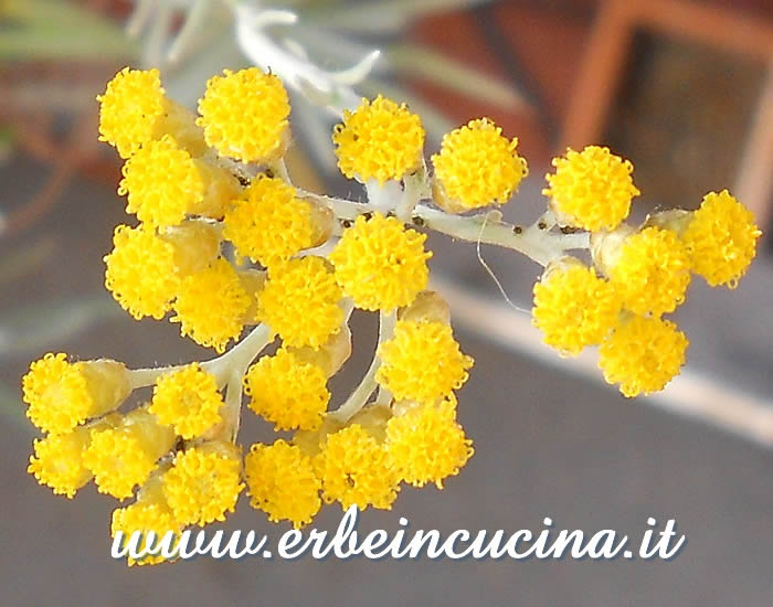 Fiori di elicriso / Curry plant flowers