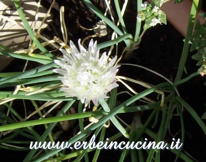 Chives white flower