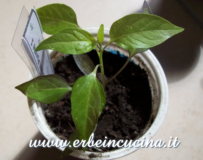 Giovane pianta di peperoncino Fluorescent Purple / Fluorescent Purple chili pepper young plant