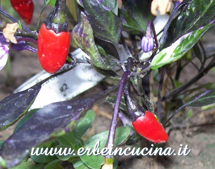 Peperoncini Fluorescent Purple maturi / Ripe Fluorescent Purple chili pepper pods