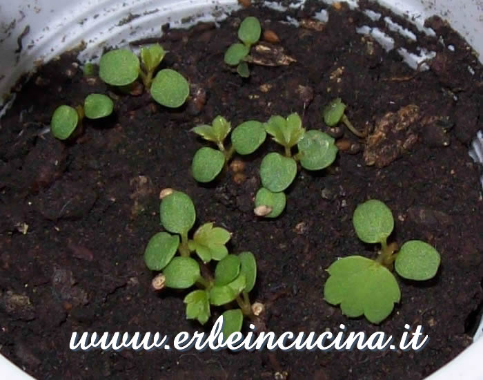 Piantine neonate di fragola / Newborn strawberry plants