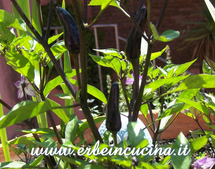 Peperoncini Frida Black non ancora maturi / Unripe Frida Black chili pepper pods