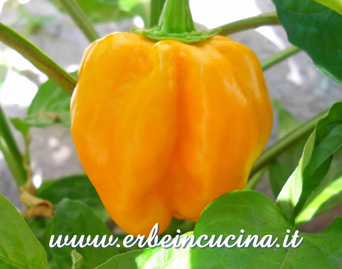 Ripe Habanero Golden chili pod