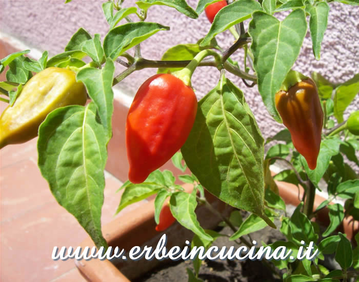 Ripe Inca Red Drop chili pepper pod