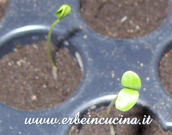 Piantine neonate di lino / Flax Newborn Plants