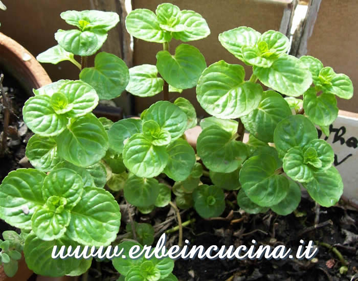 Menta Glaciale pronta per il primo raccolto / White Mint ready to be harvested