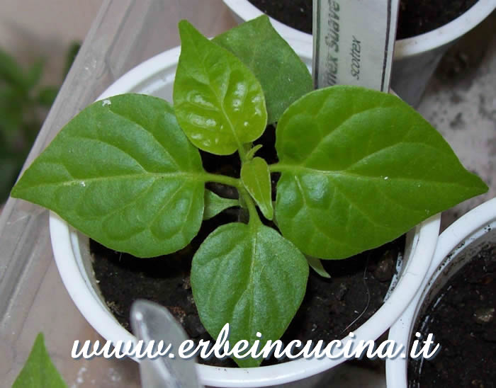 Giovane pianta di Numex Suave Orange / Numex Suave Orange, young plant