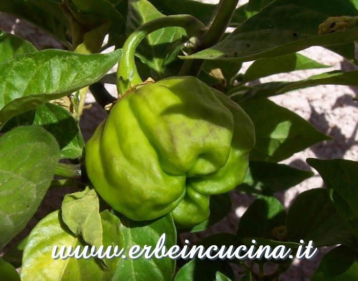 Peperoncino Numex Suave Orange non ancora maturo / Unripe Numex Suave Orange chili pepper pod
