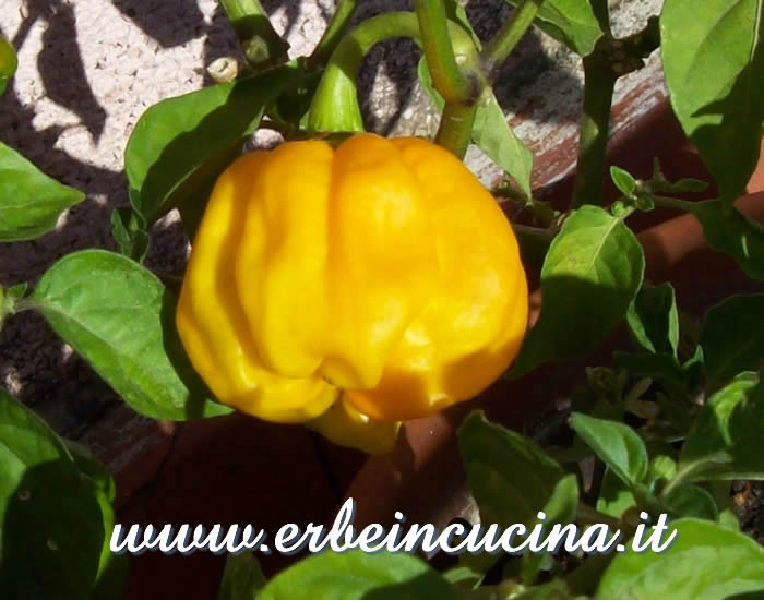 Ripe Numex Suave Orange chili pepper pod