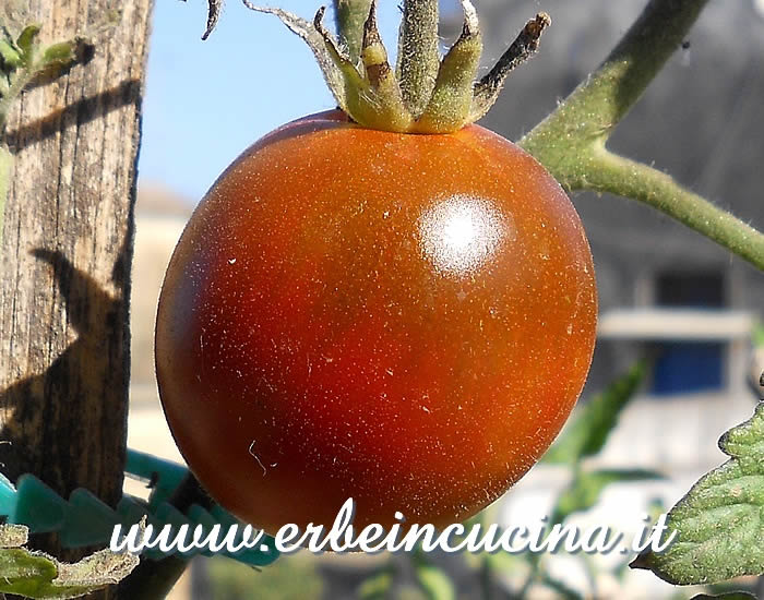 Ripe Black Crimea Tomato