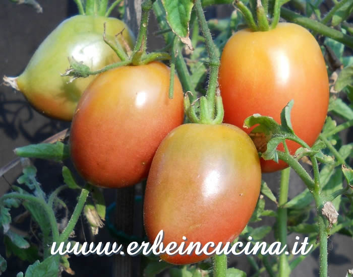 Purple Russian Plum Tomatoes