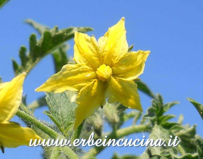 Fiore di pomodoro Yellow Pear / Yellow Pear Tomato flower