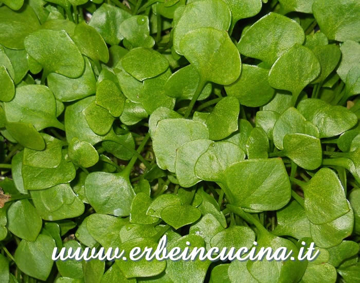 Winter purslane, ready to be harvested