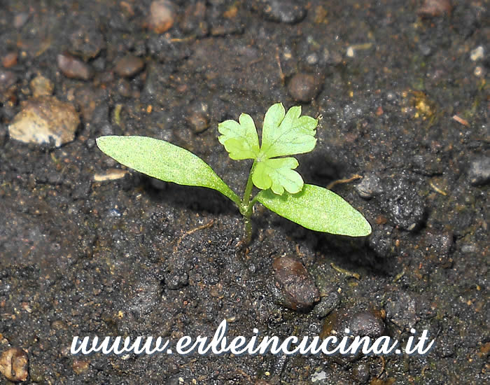 Prezzemolo Hamberg da radice, prima foglia vera / Hamberg root parsley, first true leaf