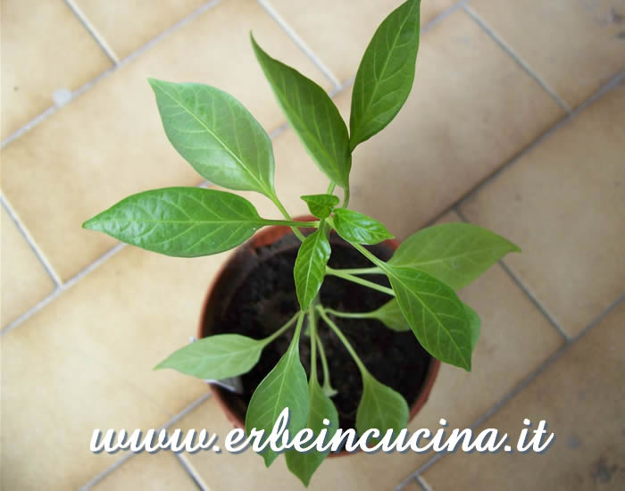 Giovane pianta di Red Devil / Red Devil chili, young plant