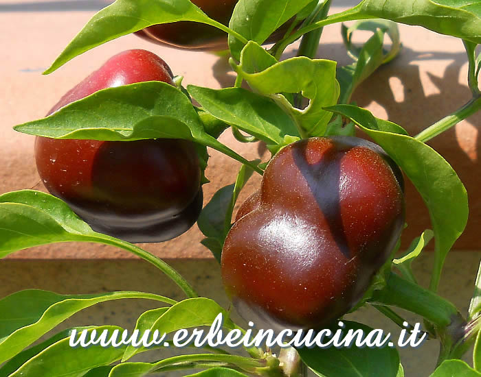 Peperoni Sweet Chocolate maturi / Ripe Sweet Chocolate bell peppers